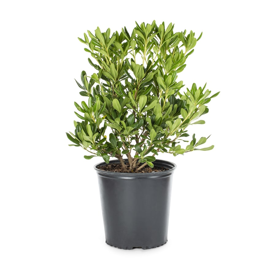 2-Gallon White Green Pittosporum Foundation/Hedge Shrub (L10905)
