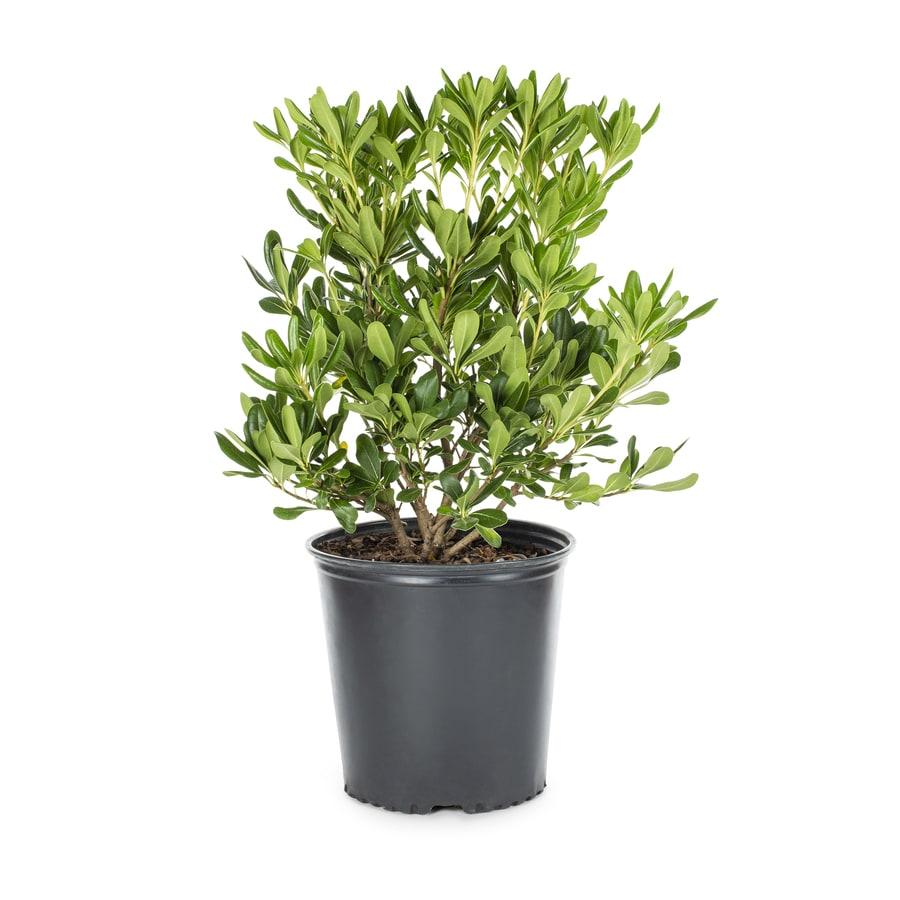 2.25-Gallon White Green Pittosporum Foundation/Hedge Shrub (L10905)