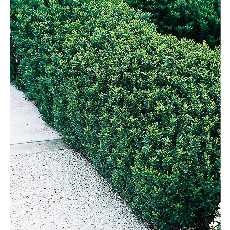 Shop 2 Quart White Green Spire Euonymus Accent Shrub