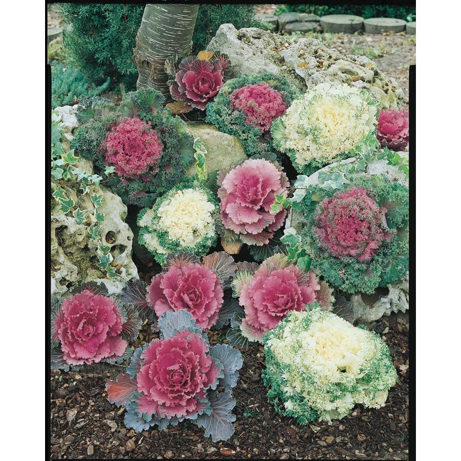 2-Gallon Ornamental Kale (L14885)