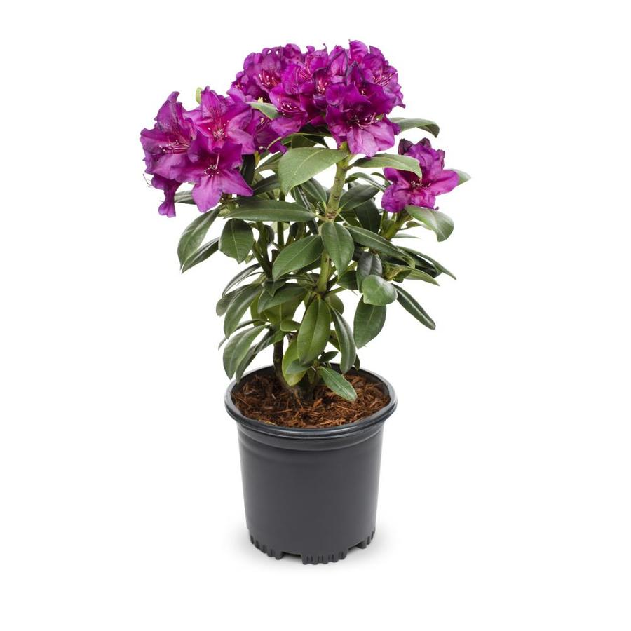 2-Quart Multicolor Rhododendron Flowering Shrub (L5420)