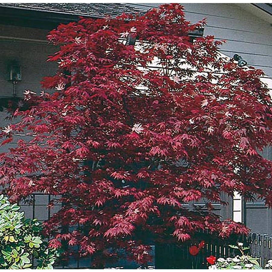 1.5-Gallon Assorted Upright Japanese Maple Feature Tree (L5413)