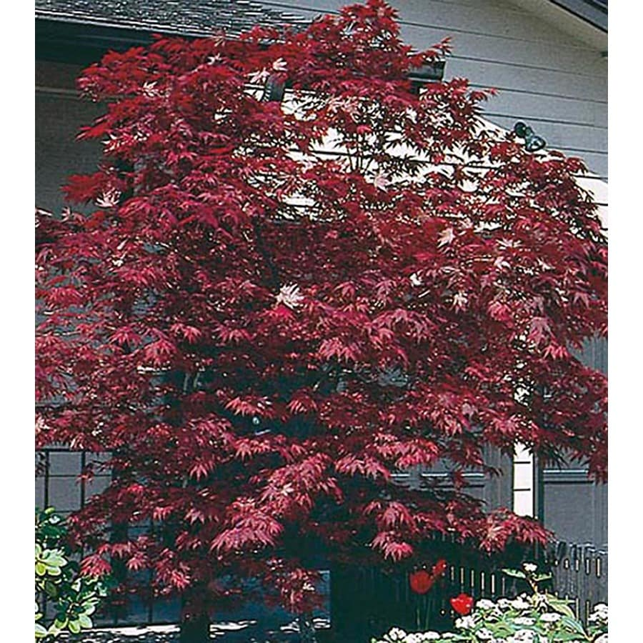 3.25-Gallon Assorted Upright Japanese Maple Feature Tree (L5413)