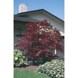10.25 Gallon Assorted Upright Japanese Maple Feature Tree (L5413)
