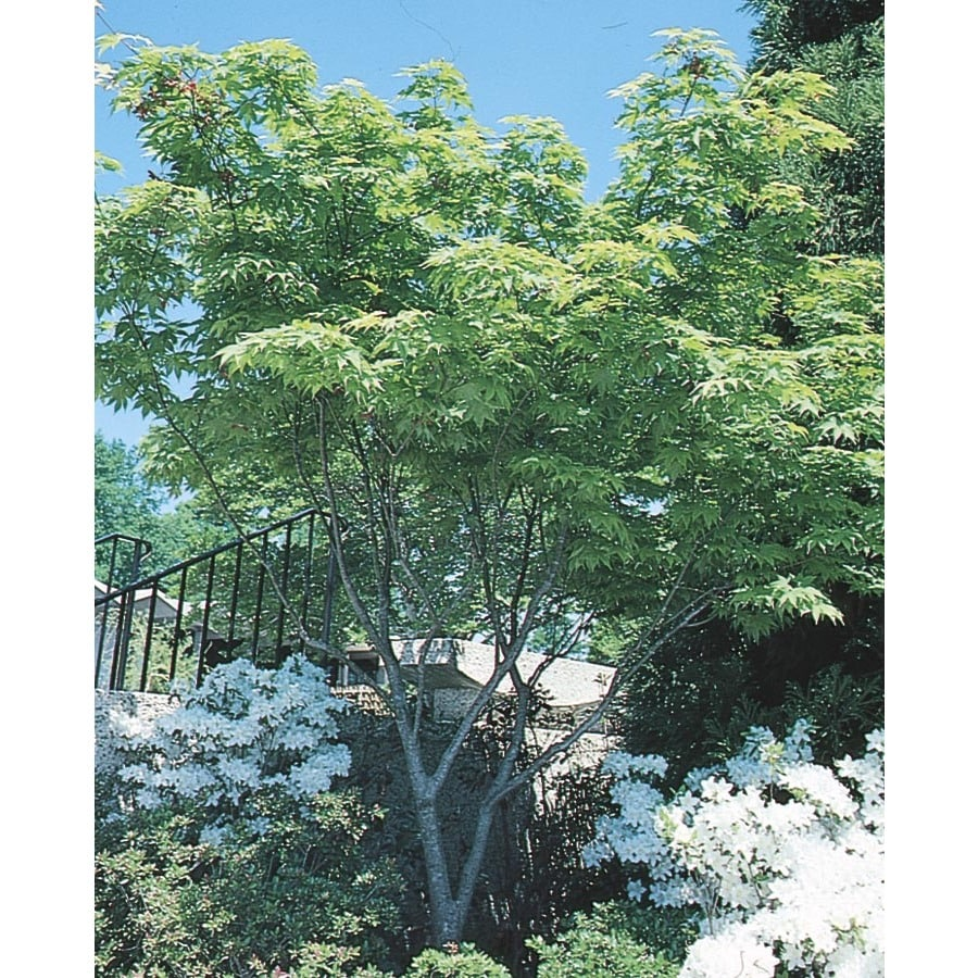 23-Gallon Japanese Maple Feature Tree (L4163)