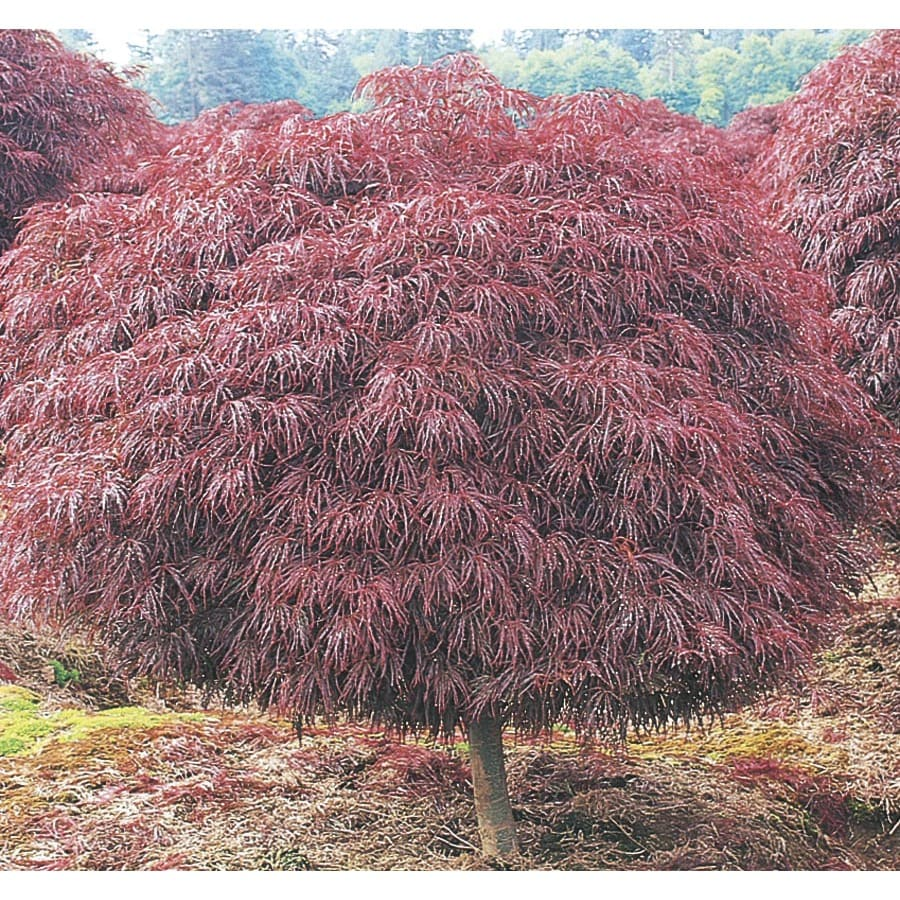 3 Gallon Red Crimson Queen Japanese Maple Feature Tree In Pot With