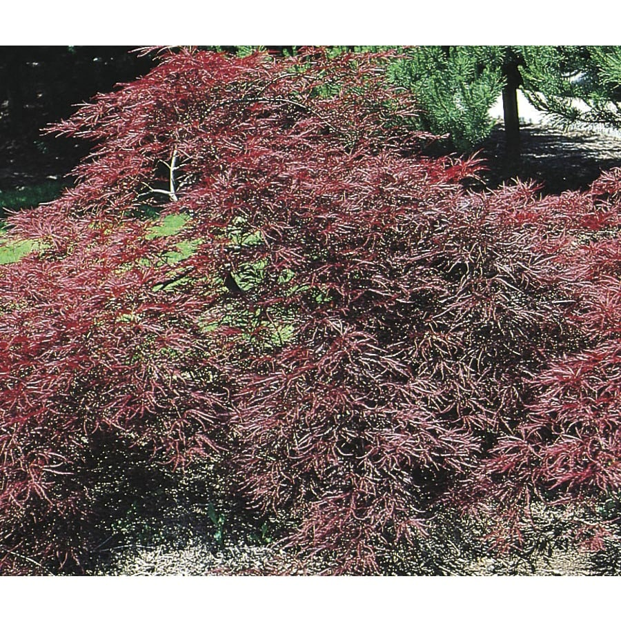3.25-Gallon Garnet Japanese Maple Feature Tree (L4201)