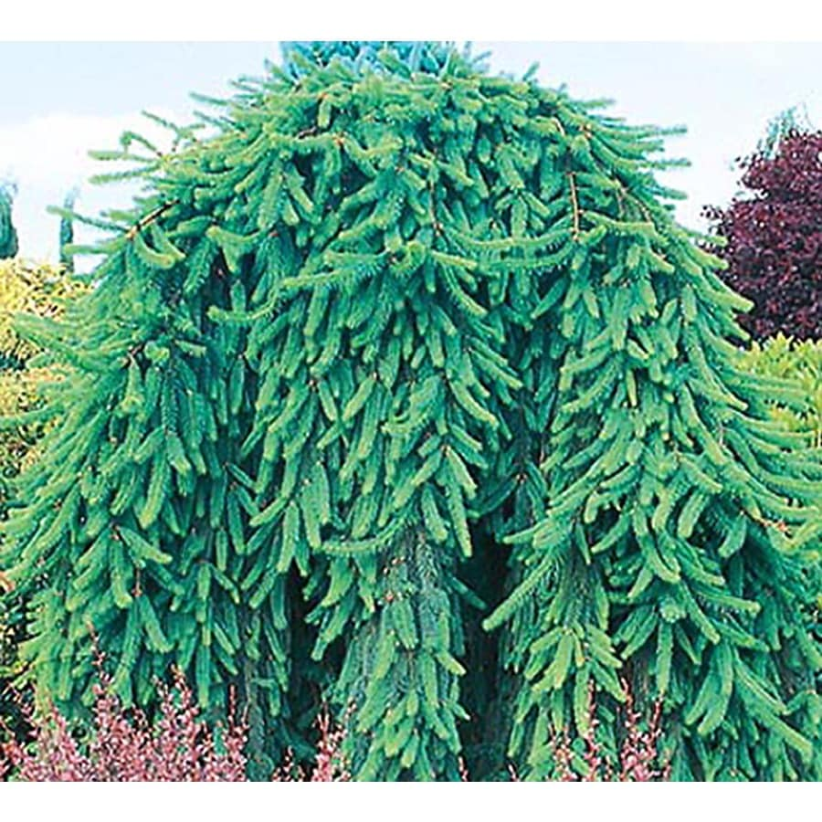 19-Gallon Weeping Norway Spruce Feature Shrub (L4097)