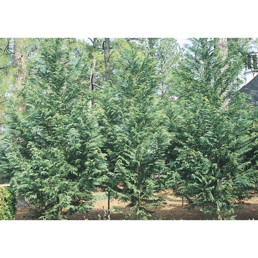 3.6-Gallon Irish Eyes Cypress Screening Tree (L11806)