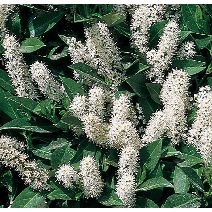 5.5-Gallon White Schipka Cherry Laurel Foundation/Hedge Shrub (L6864)