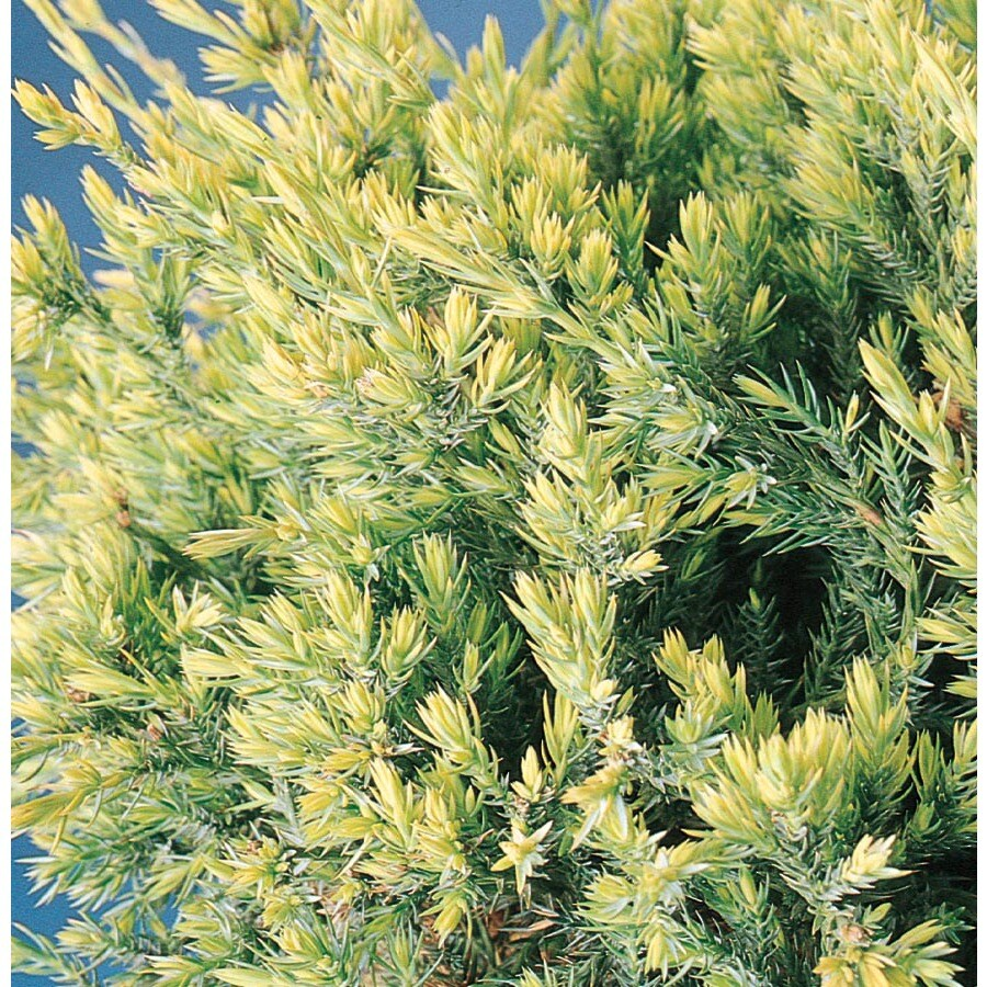 3.25-Gallon Holger's Juniper Accent Shrub (L5429)