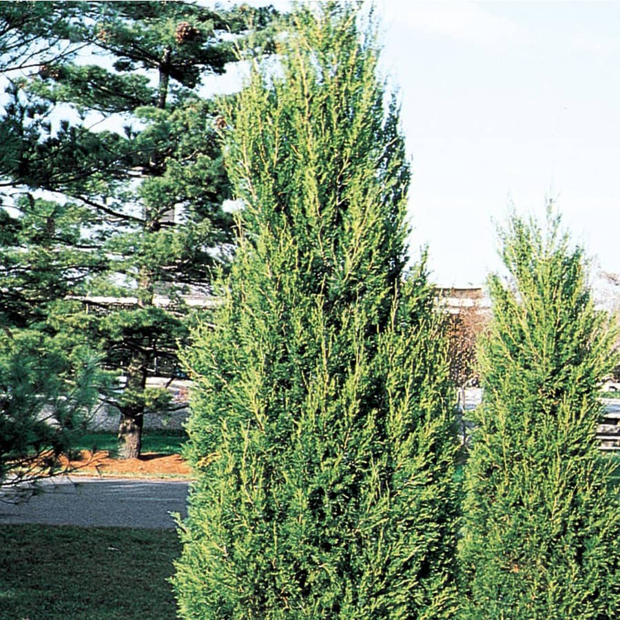 2-Gallon Hetzi Column Juniper Feature Shrub (L8912)