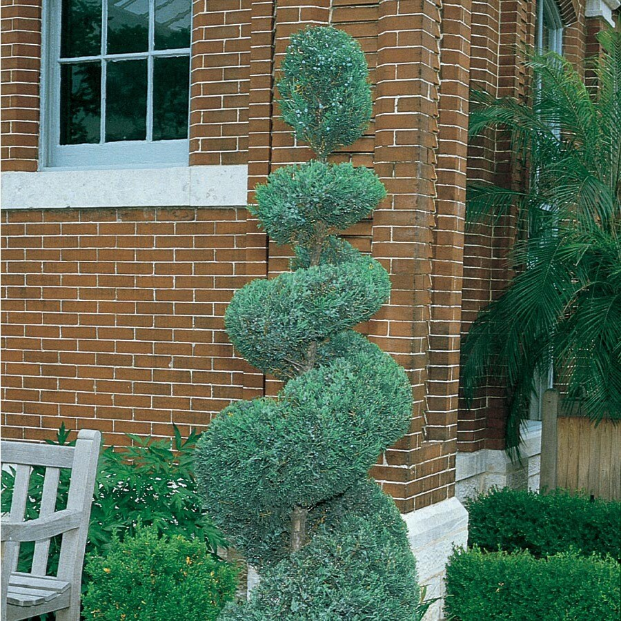 2-Gallon Blue Arrow Spiral Juniper Feature Shrub (L22654)