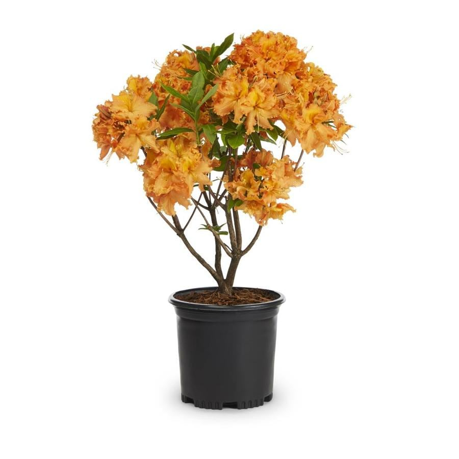 2-Quart Multicolor Exbury Hybrid Azalea Flowering Shrub (L5160)