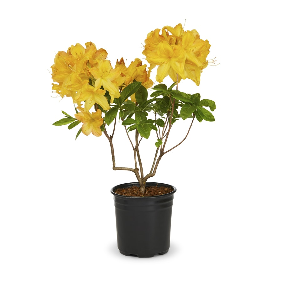 1.5-Gallon Mixed Exbury Hybrid Azalea Flowering Shrub (L5160)
