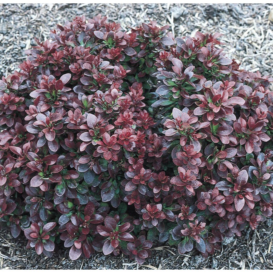 2-Quart White Bagatelle Barberry Accent Shrub (L5165)