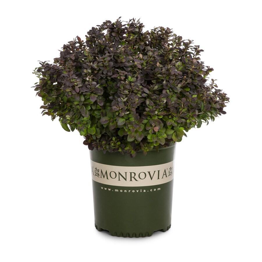 Monrovia 1.6-Gallon Purple Barberry Accent Shrub