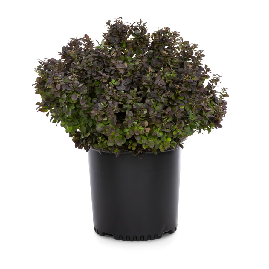 2.25-Gallon Yellow Concorde Barberry Accent Shrub (L11523)