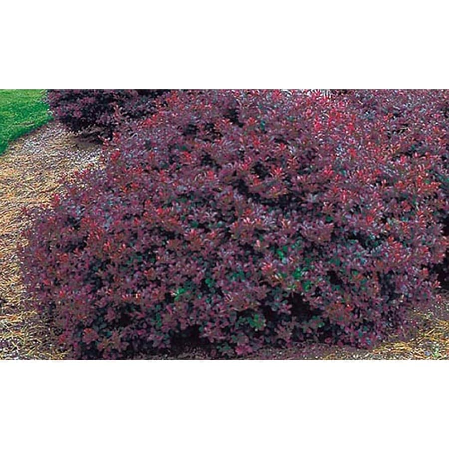 1-Gallon White Crimson Pygmy Barberry Accent Shrub (L10821)