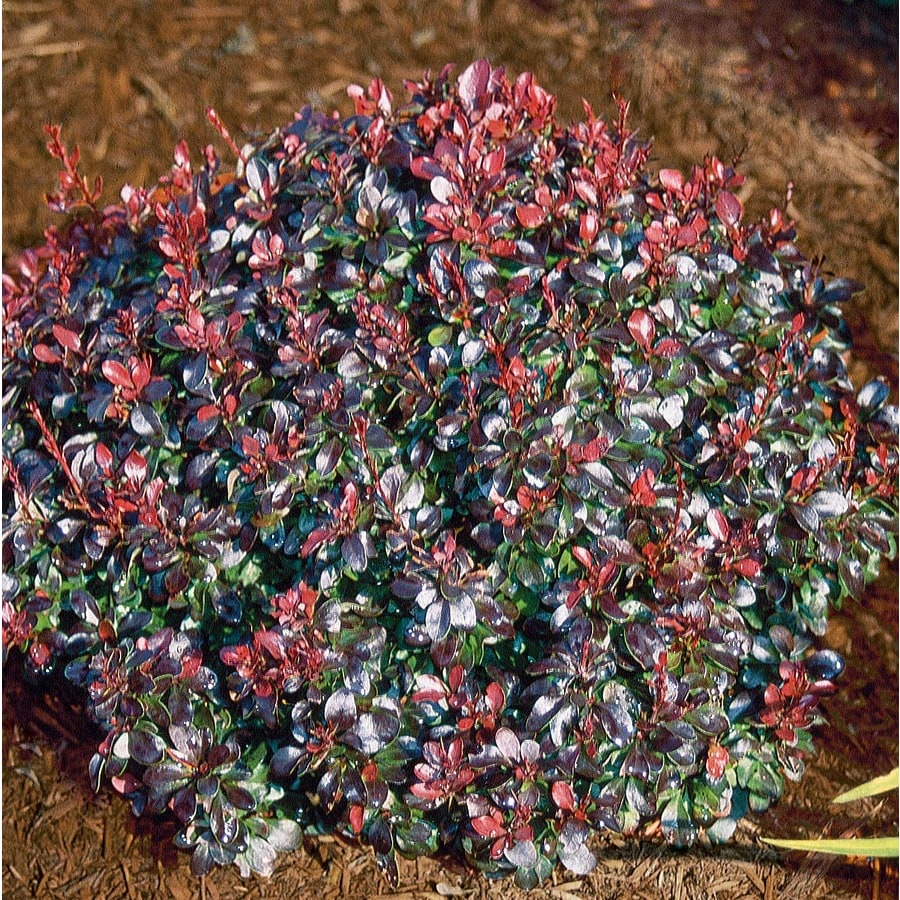 2-Quart White Crimson Ruby® Barberry Accent Shrub (L25212)