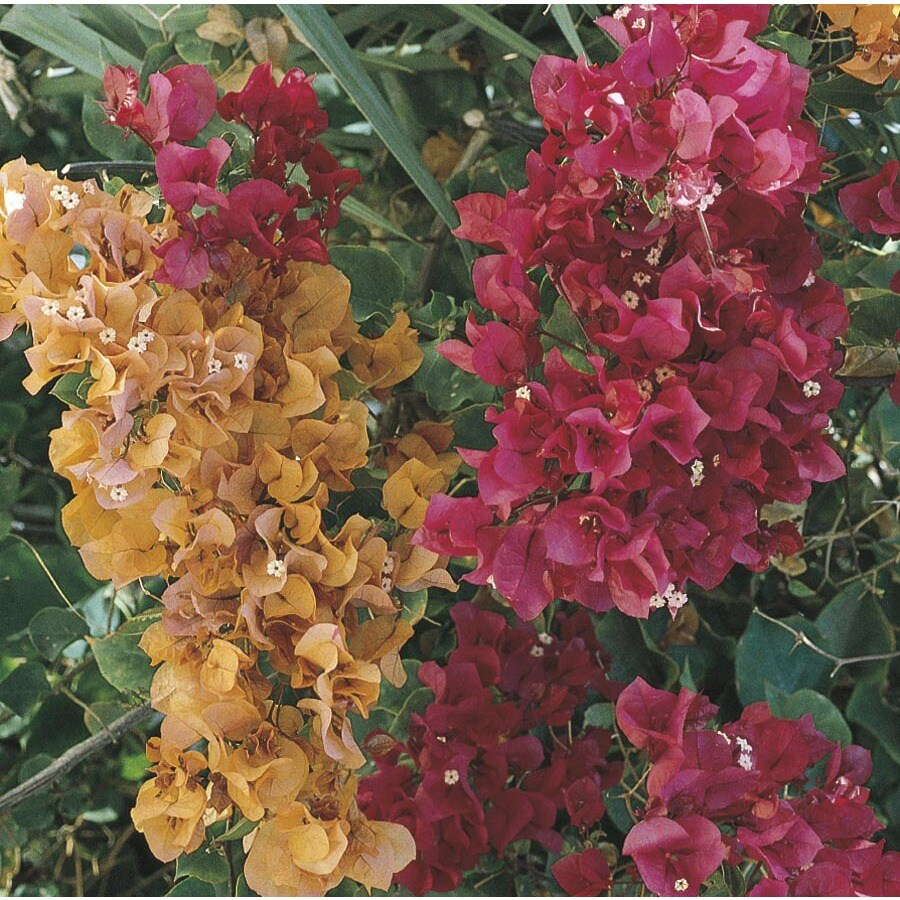 2-Quart Multicolor Hybrid Bougainvillea Flowering Shrub (L5710)