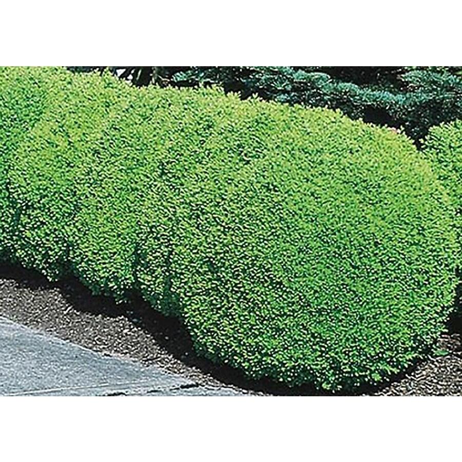 2-Quart White Green Mountain Boxwood Foundation/Hedge Shrub (L7204)