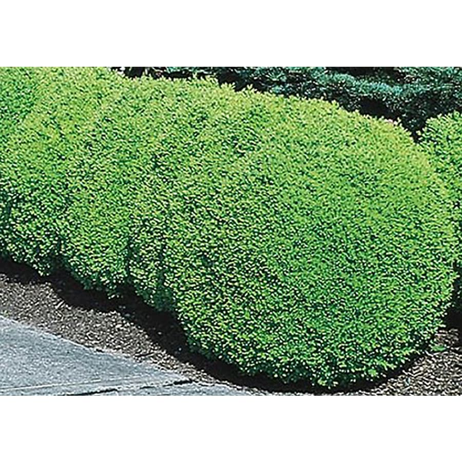 1.5-Gallon Green Mountain Boxwood Foundation/Hedge Shrub (L7204)