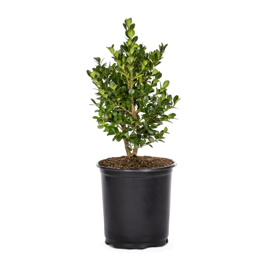 2-Quart White Green Beauty Boxwood Foundation/Hedge Shrub (L3841)