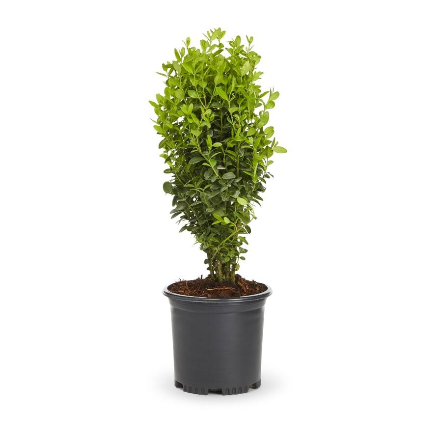 2-Quart White Green Velvet Boxwood Foundation/Hedge Shrub (L7205)