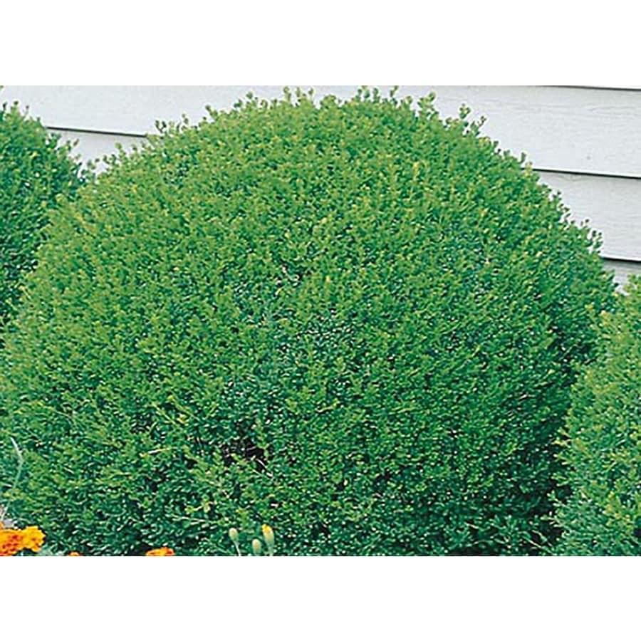 1-Gallon White Green Velvet Boxwood Foundation/Hedge Shrub (L7205)