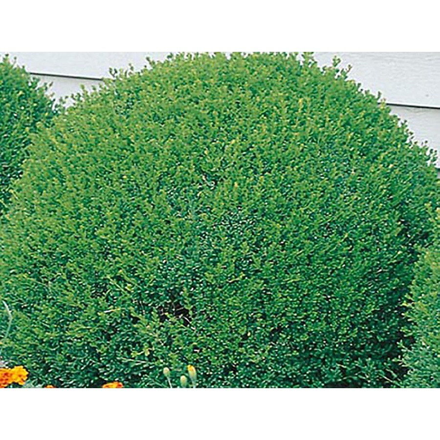 2.25-Gallon Green Velvet Boxwood Foundation/Hedge Shrub (L7205)