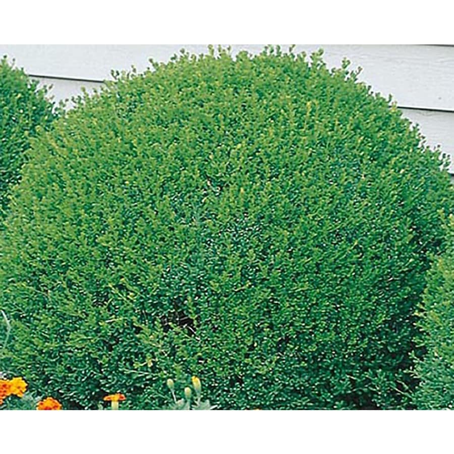 3-Gallon White Green Velvet Boxwood Foundation/Hedge Shrub (L7205)