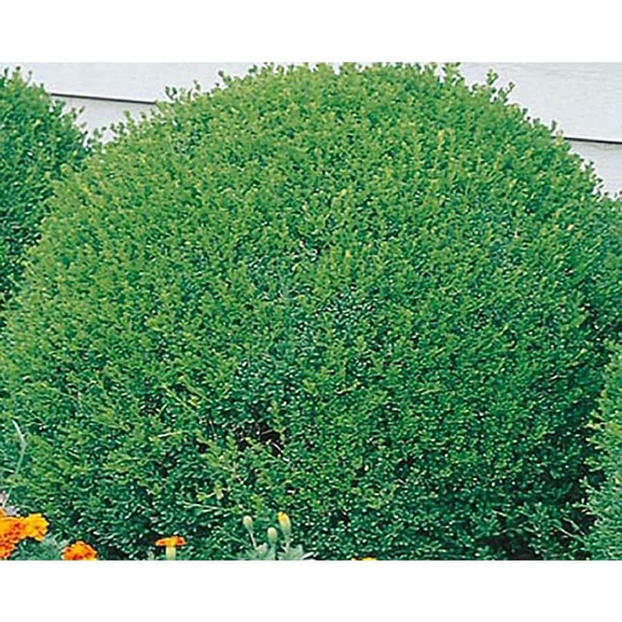 5-Gallon White Green Velvet Boxwood Foundation/Hedge Shrub (L7205)