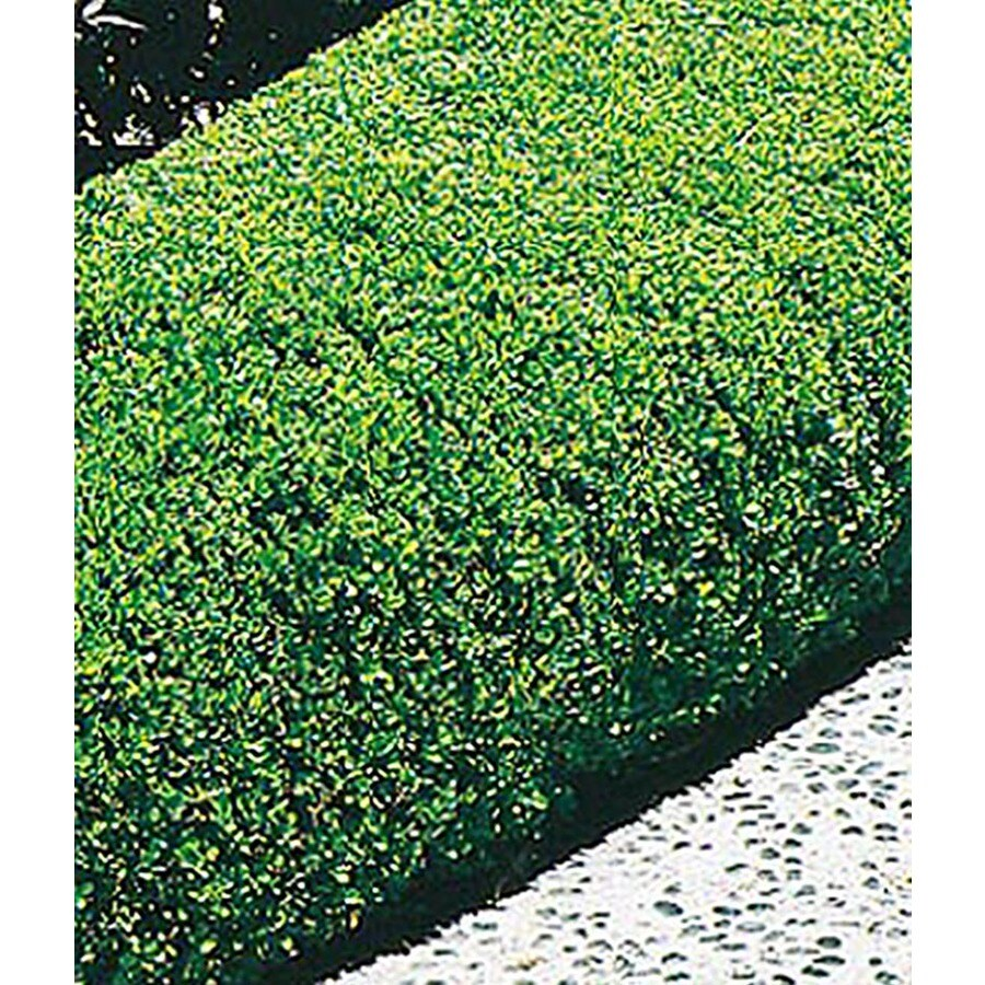 5.5-Gallon Winter Gem Boxwood Foundation/Hedge Shrub (L3447)