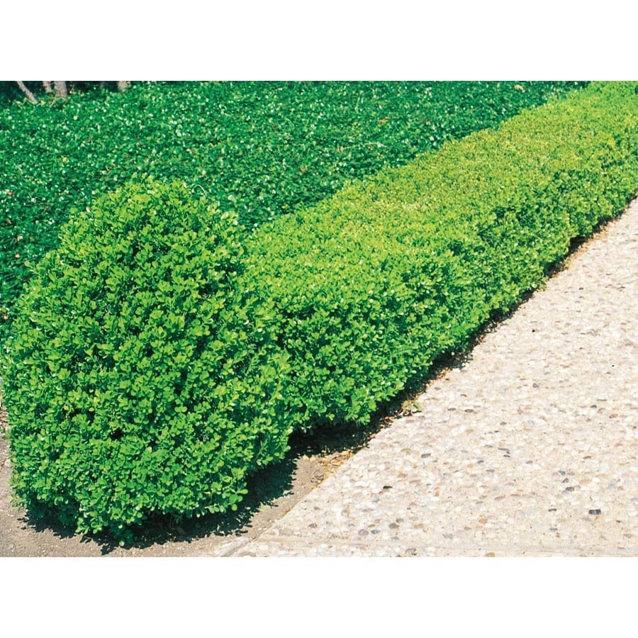 1-Gallon White Wintergreen Boxwood Foundation/Hedge Shrub (L3448)