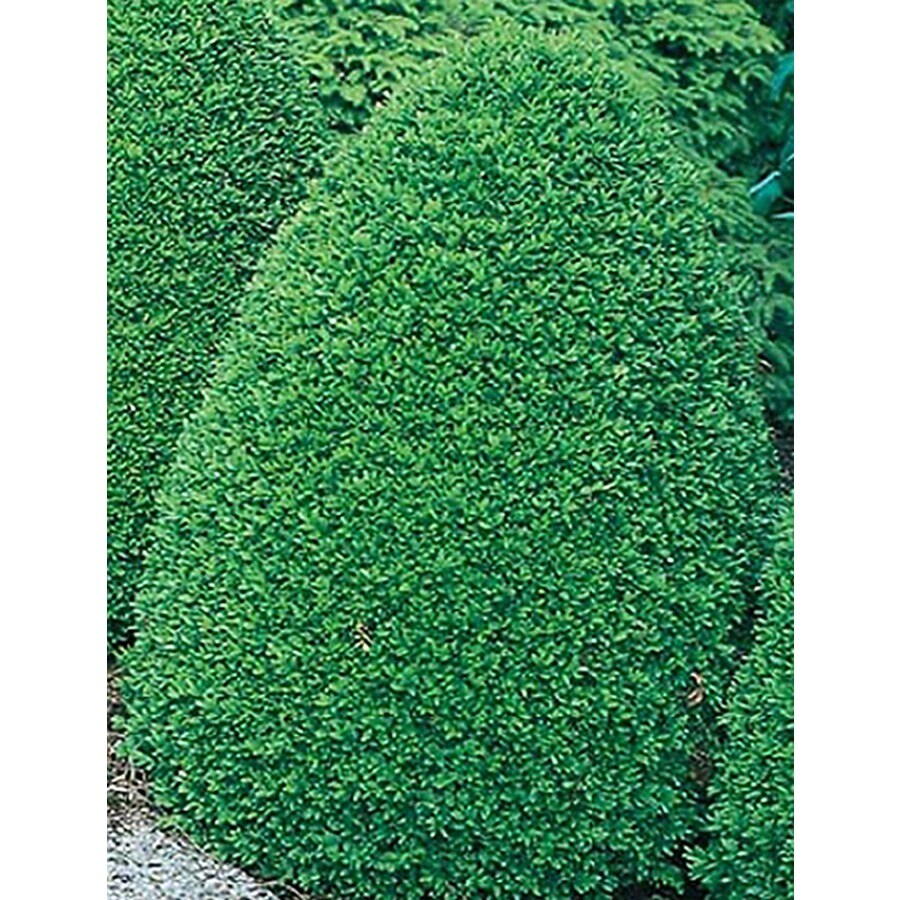 3-Gallon White Common Boxwood Foundation/Hedge Shrub (L2572)