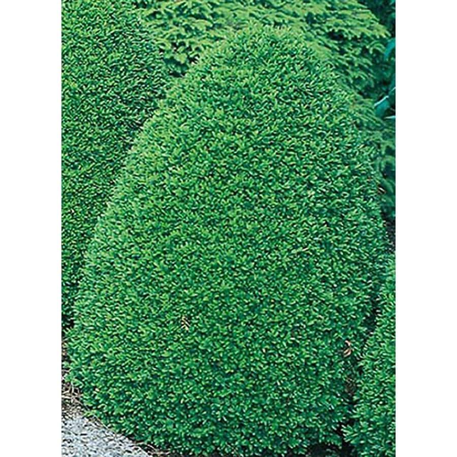 5.5-Gallon Common Boxwood Foundation/Hedge Shrub (L2572)