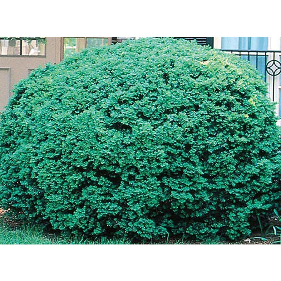 1.5-Gallon Dwarf English Boxwood Foundation/Hedge Shrub (L4185)