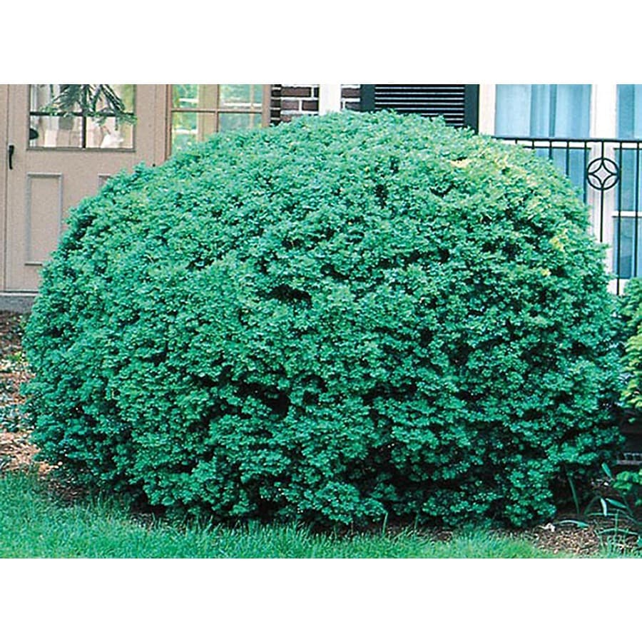 2-Gallon White Dwarf English Boxwood Foundation/Hedge Shrub (L4185)
