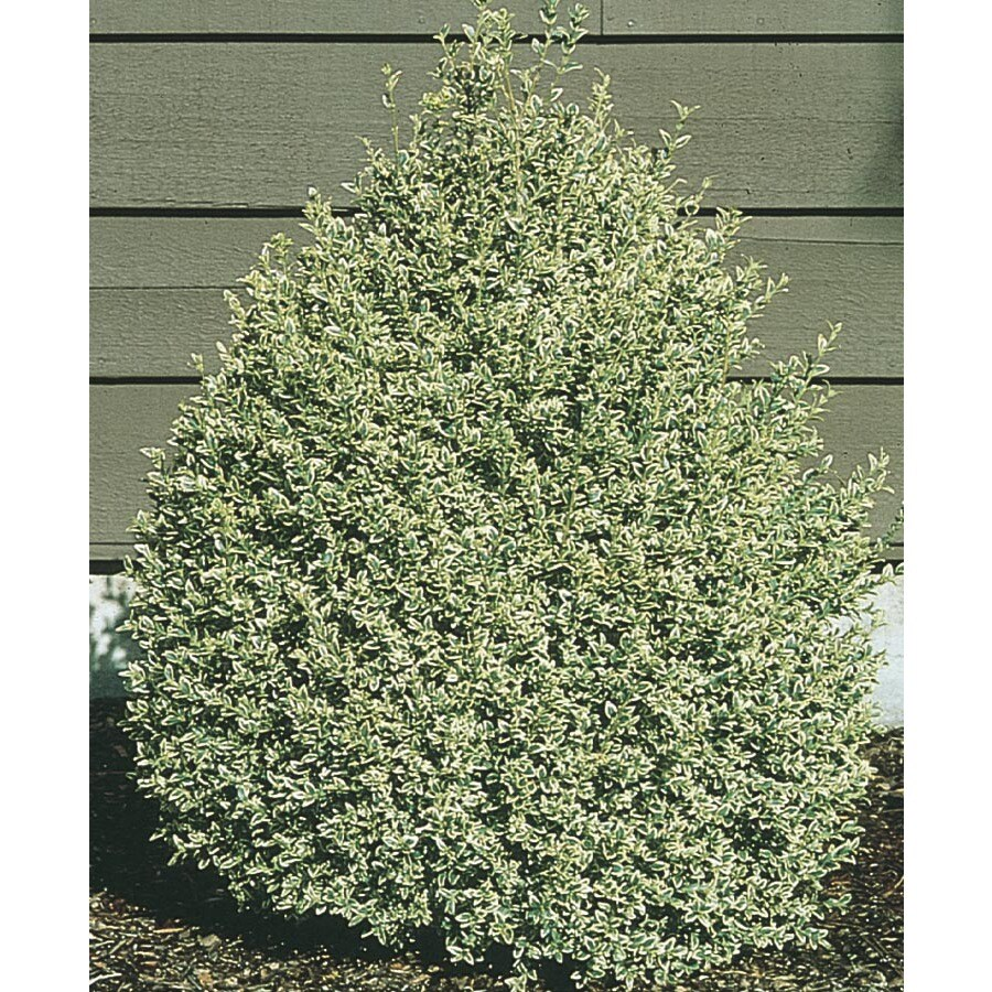 1-Gallon White Variegated Boxwood Foundation/Hedge Shrub (L10824)