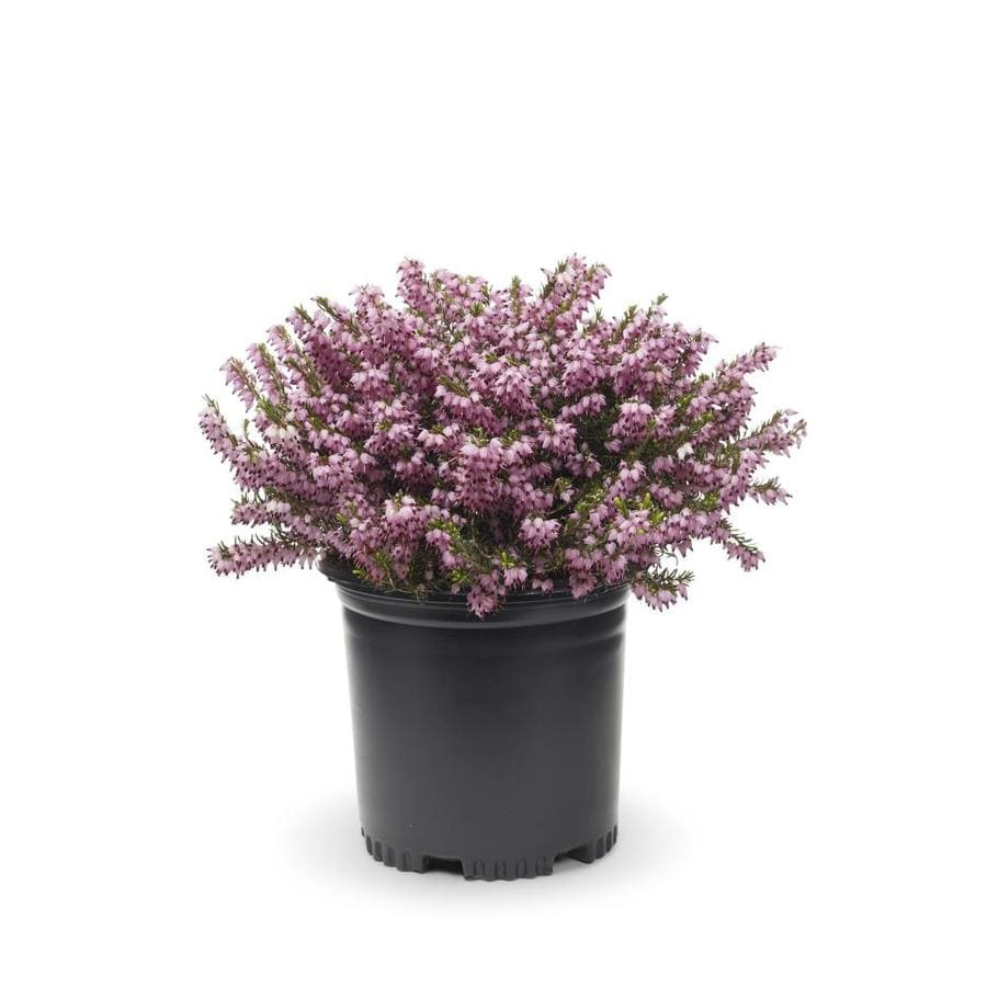 Shop 2 Quart Multicolor Heather Flowering Shrub L21677 At Lowes