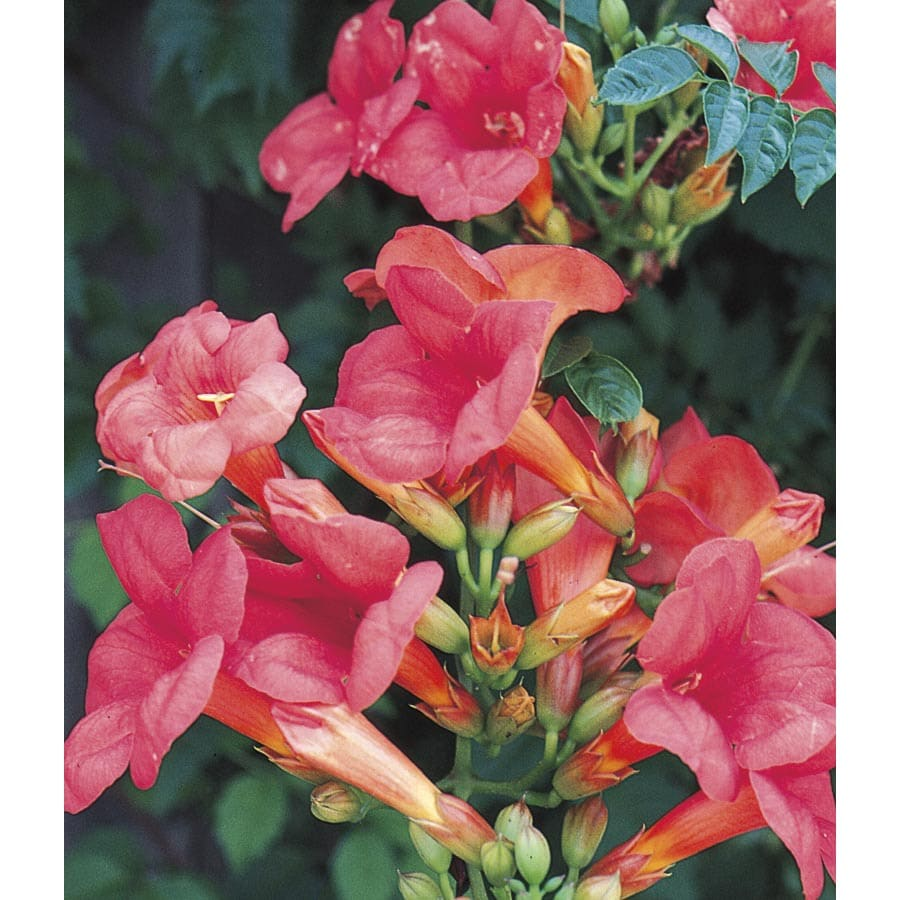 Shop 250 qt trumpet vine staked at lowes 250 qt trumpet vine staked mightylinksfo