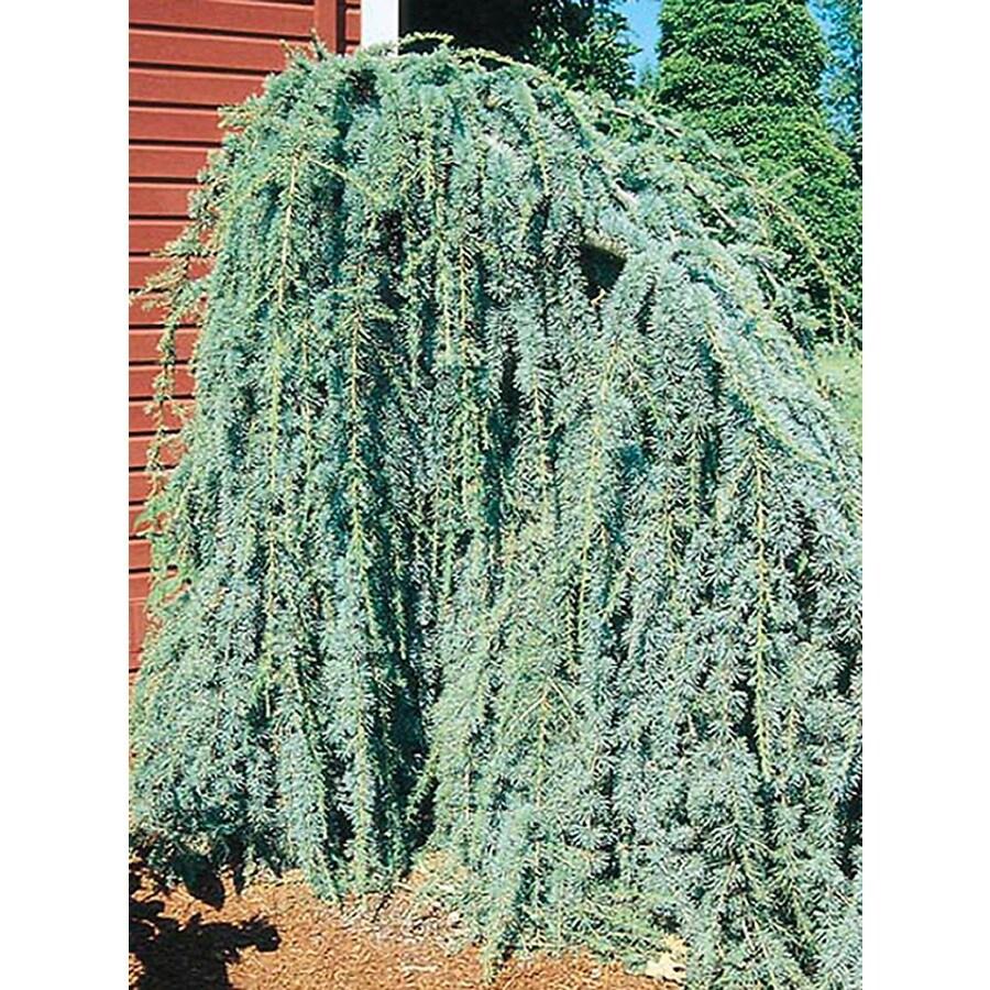 10.25-Gallon Weeping Blue Atlas Cedar Feature Tree (L8098)