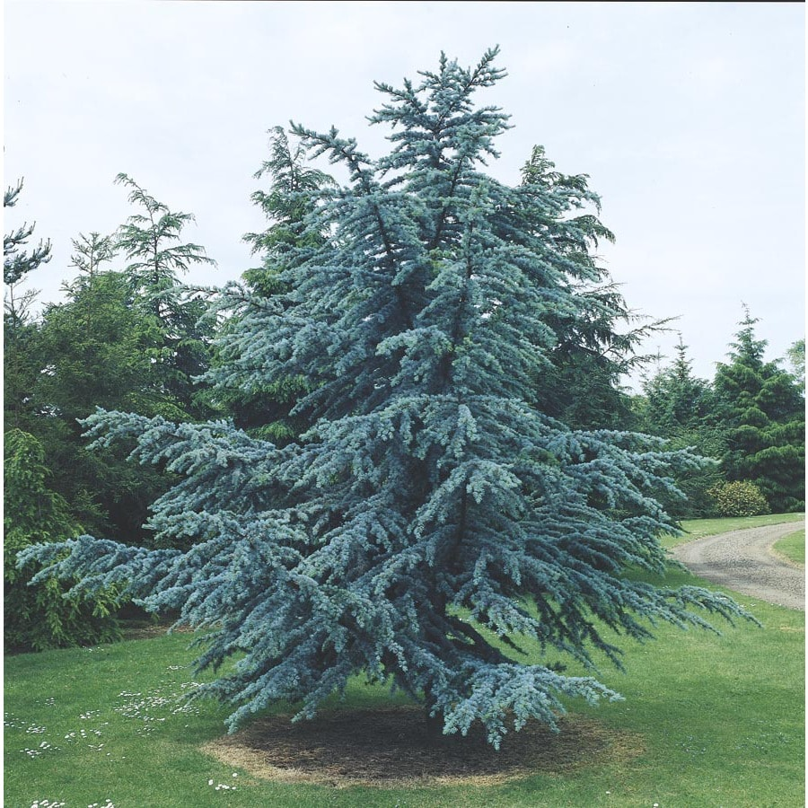 3.25-Gallon Blue Atlas Cedar Feature Tree (L4673)