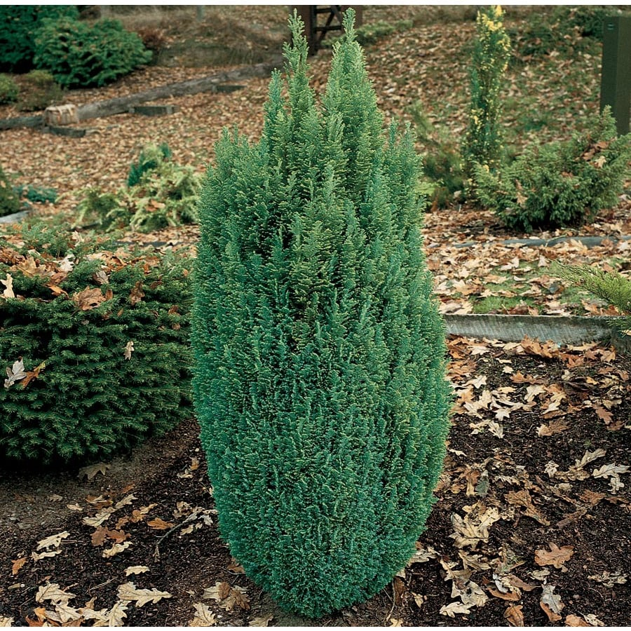 1-Quart Elwood's False Cypress Feature Tree (LW04070)