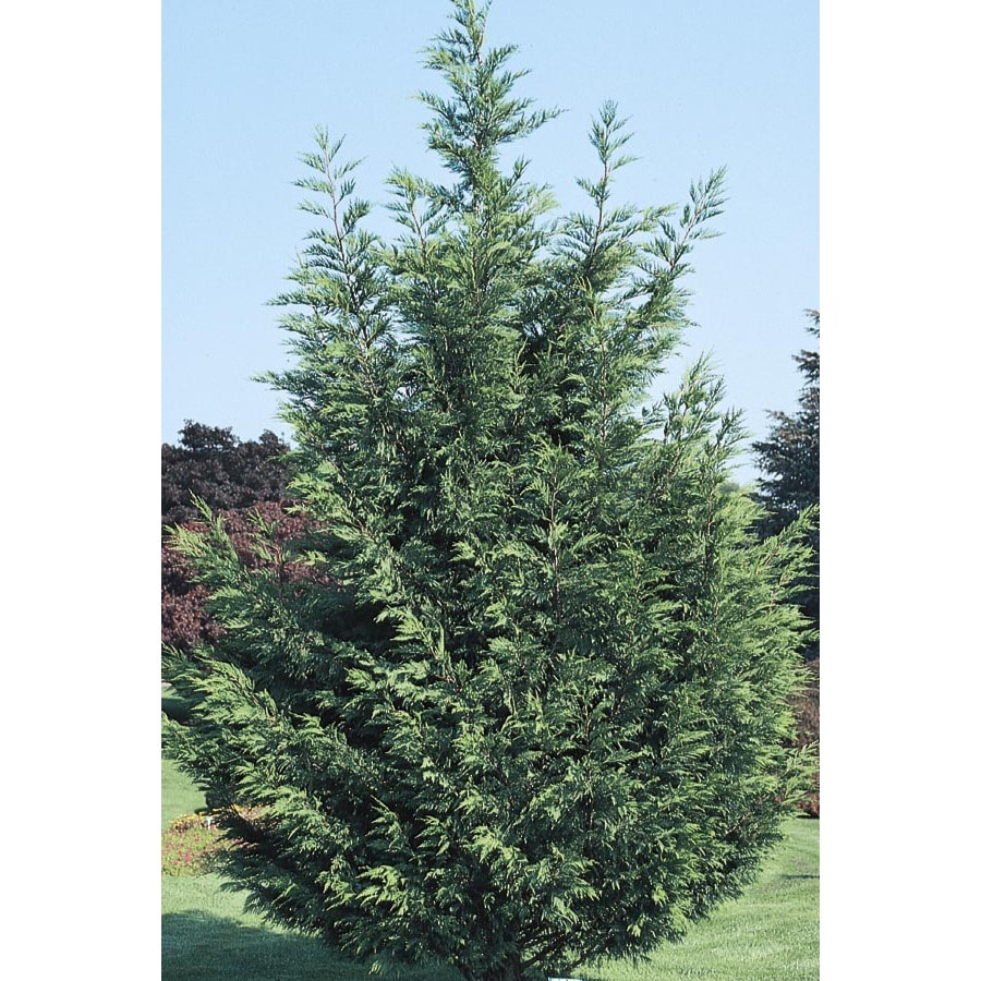 10.25-Gallon Leyland Cypress Screening Tree (L3153)