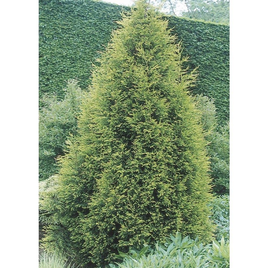 2.25-Gallon Castlewellan Cypress Screening Tree (L7136)