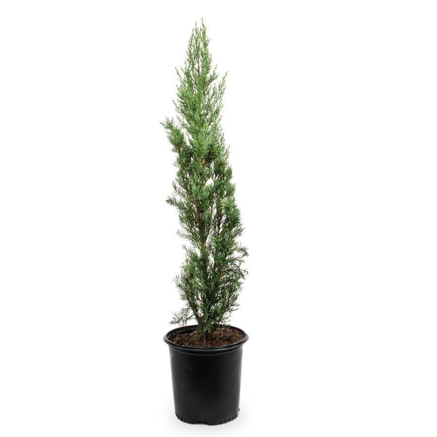 2.5-Quart Italian Cypress Feature Tree (L3291)