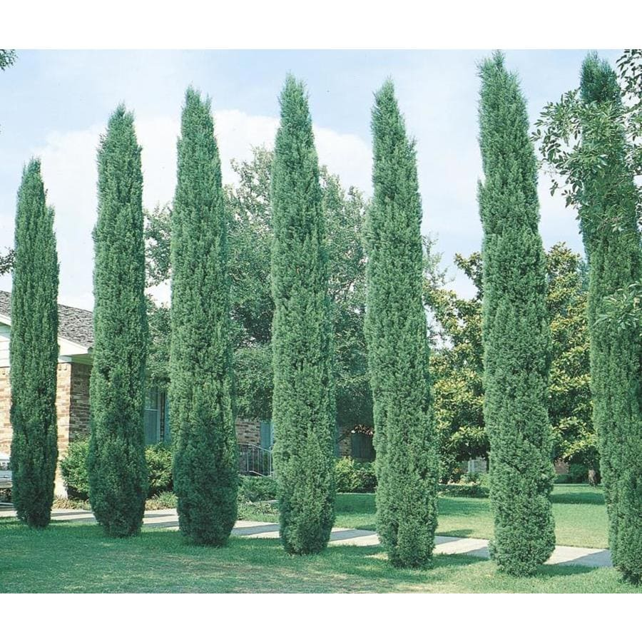 Shop 3 25 Gallon Italian Cypress Feature Tree L3291 At