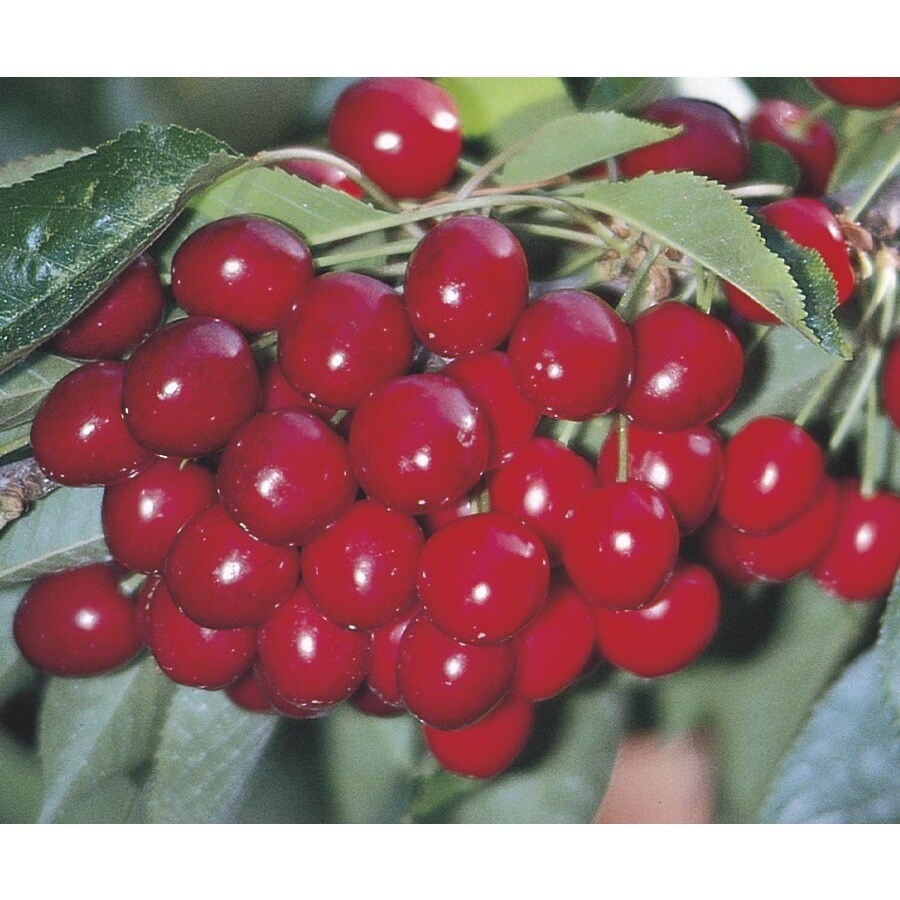 5.5-Gallon 4-n-1 Cherry Tree (L6803)
